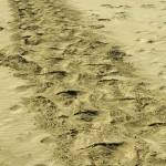 Sea Lion tracks in the sand