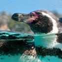 Extreme Closeup of Penguin