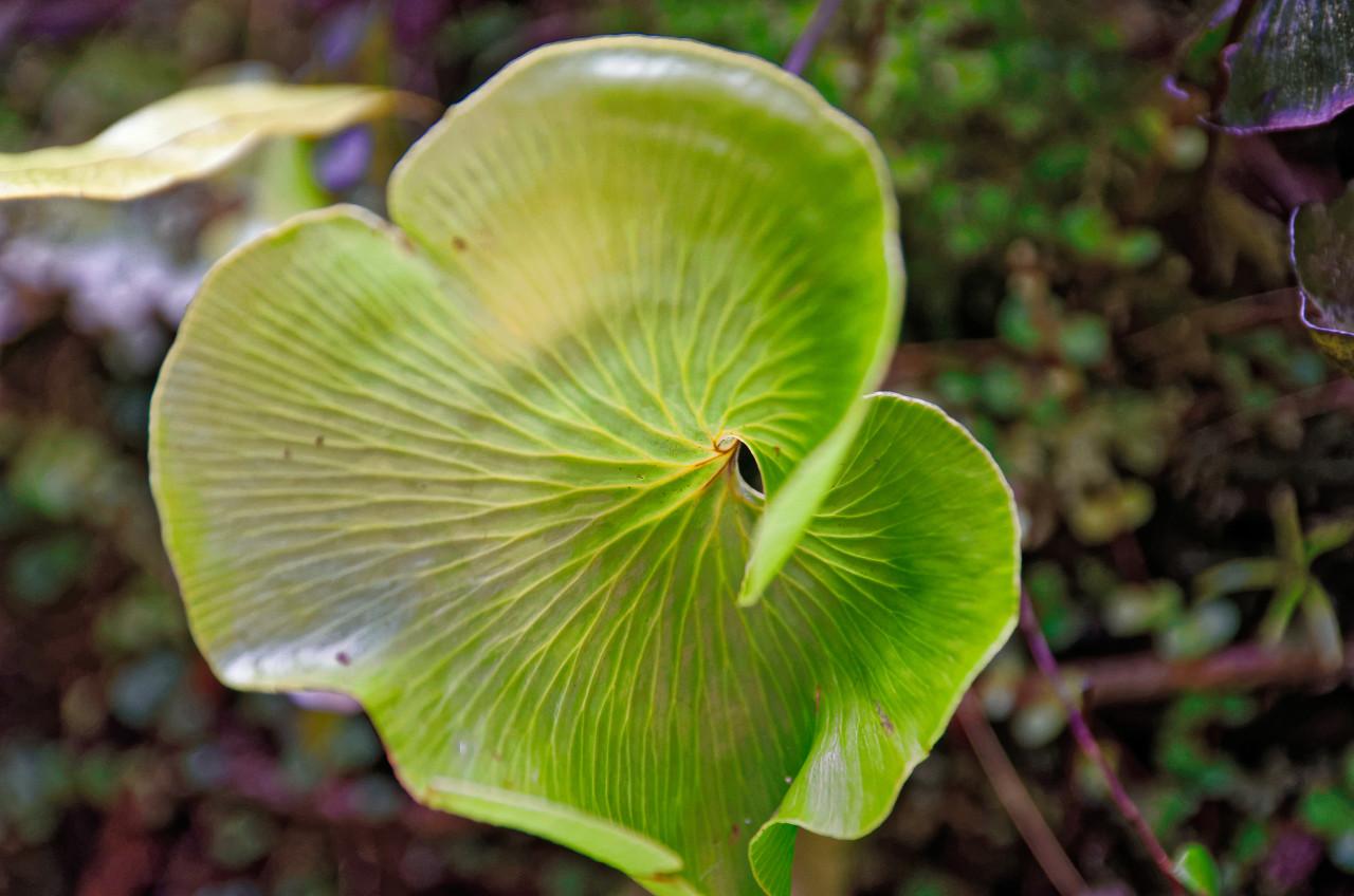 Green leaf of kidney fern plant.