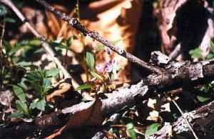 Common Wood Sorrel
