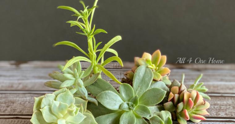 Succulents Renewed