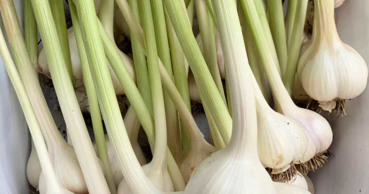 How to plant, harvest, and store garlic.
