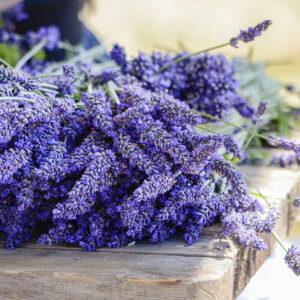 Pelindaba Lavender Ashland