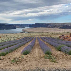Lavender Ranch At Crescent Bar