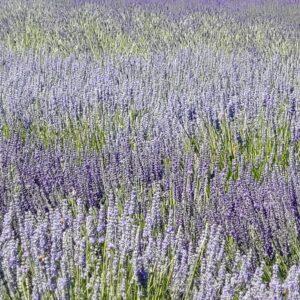 Reka's Acres Lavender Farm
