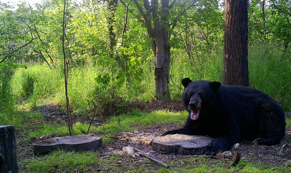 Black Bear bait site