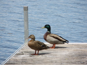 A couple of mallards on the dock.