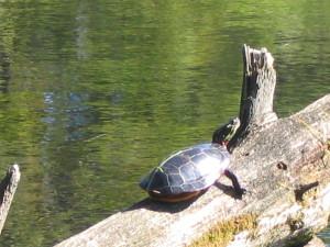 Turtle painted (2)