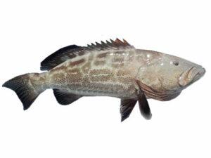 Fin Fish