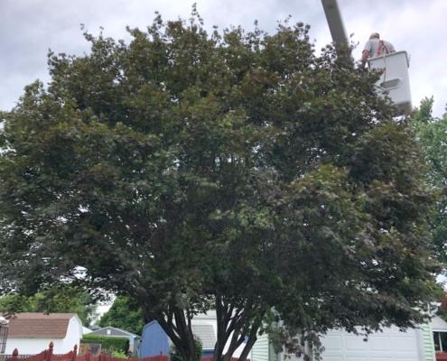 tree pruning western mass tree care