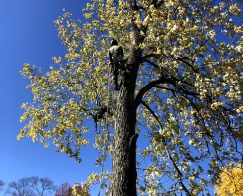 tree trimming Massachusetts