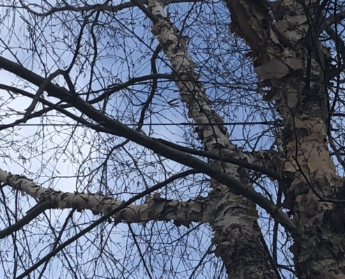 cabling and bracing trees western mass tree care