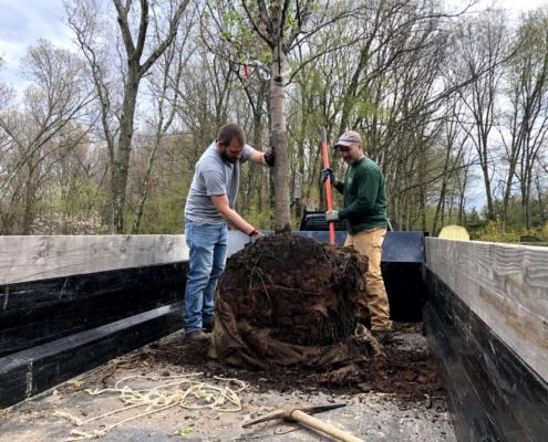 tree planting western mass tree care