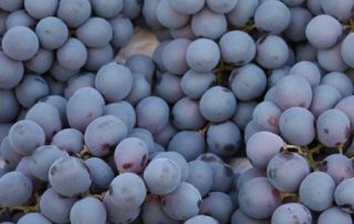 Grapes - resveratrol
