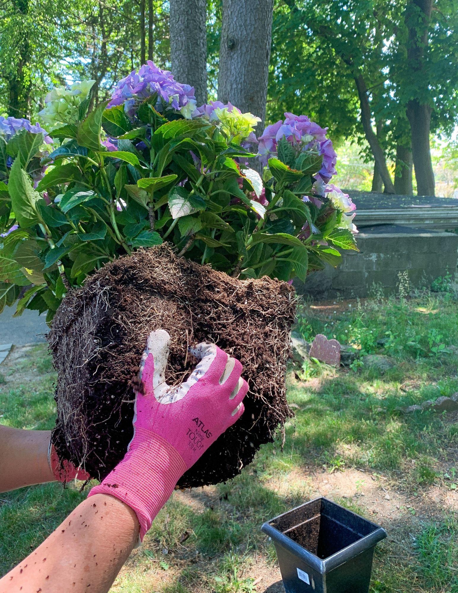 How to Plant Hydrangeas in Pots-10