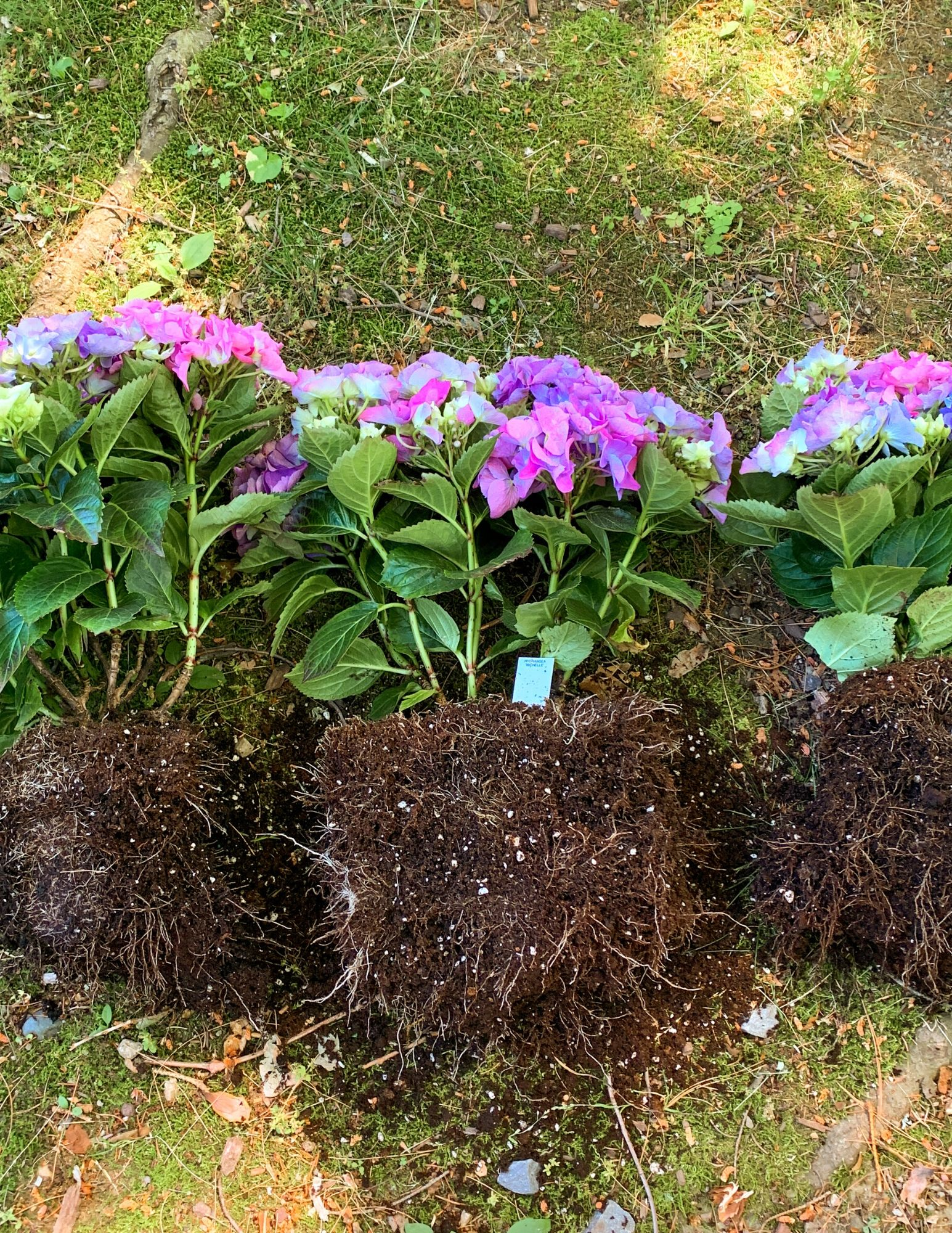 How to Plant Hydrangeas in Pots-16