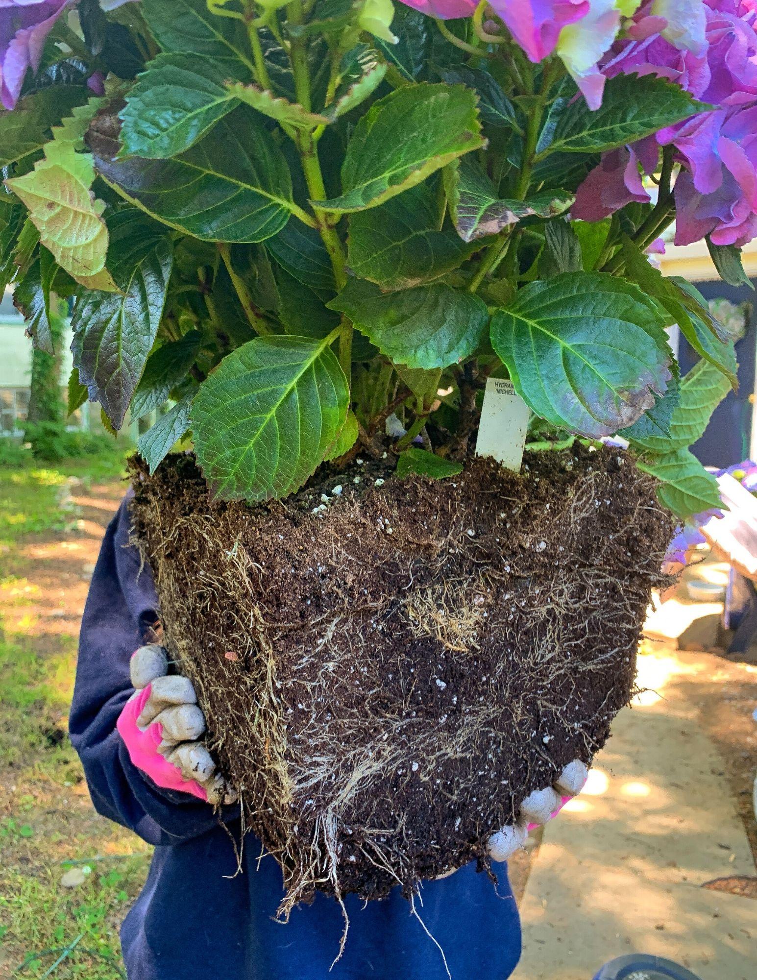 How to Plant Hydrangeas in Pots-9