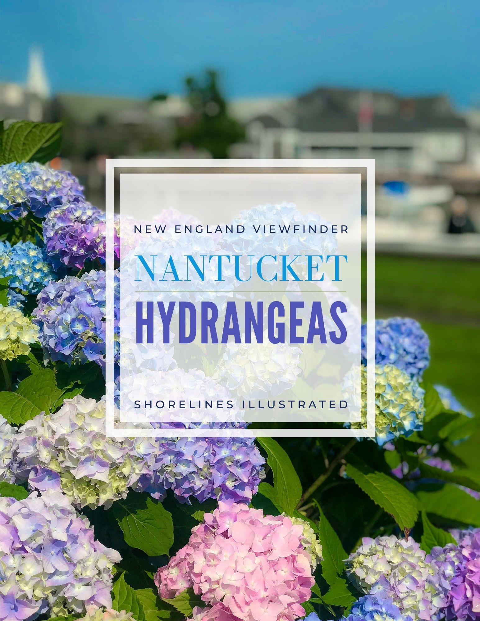 Nantucket Hydrangeas-1