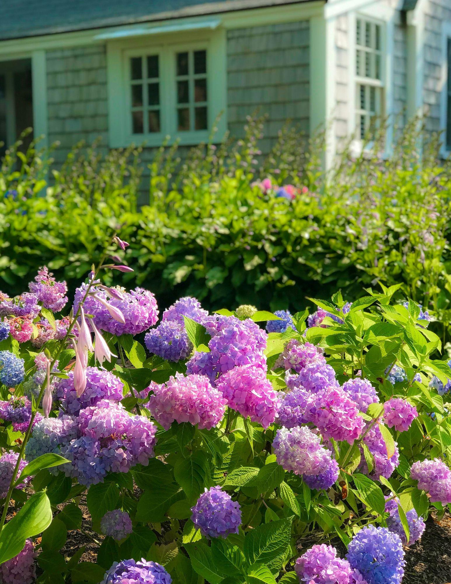 Nantucket Hydrangeas-14