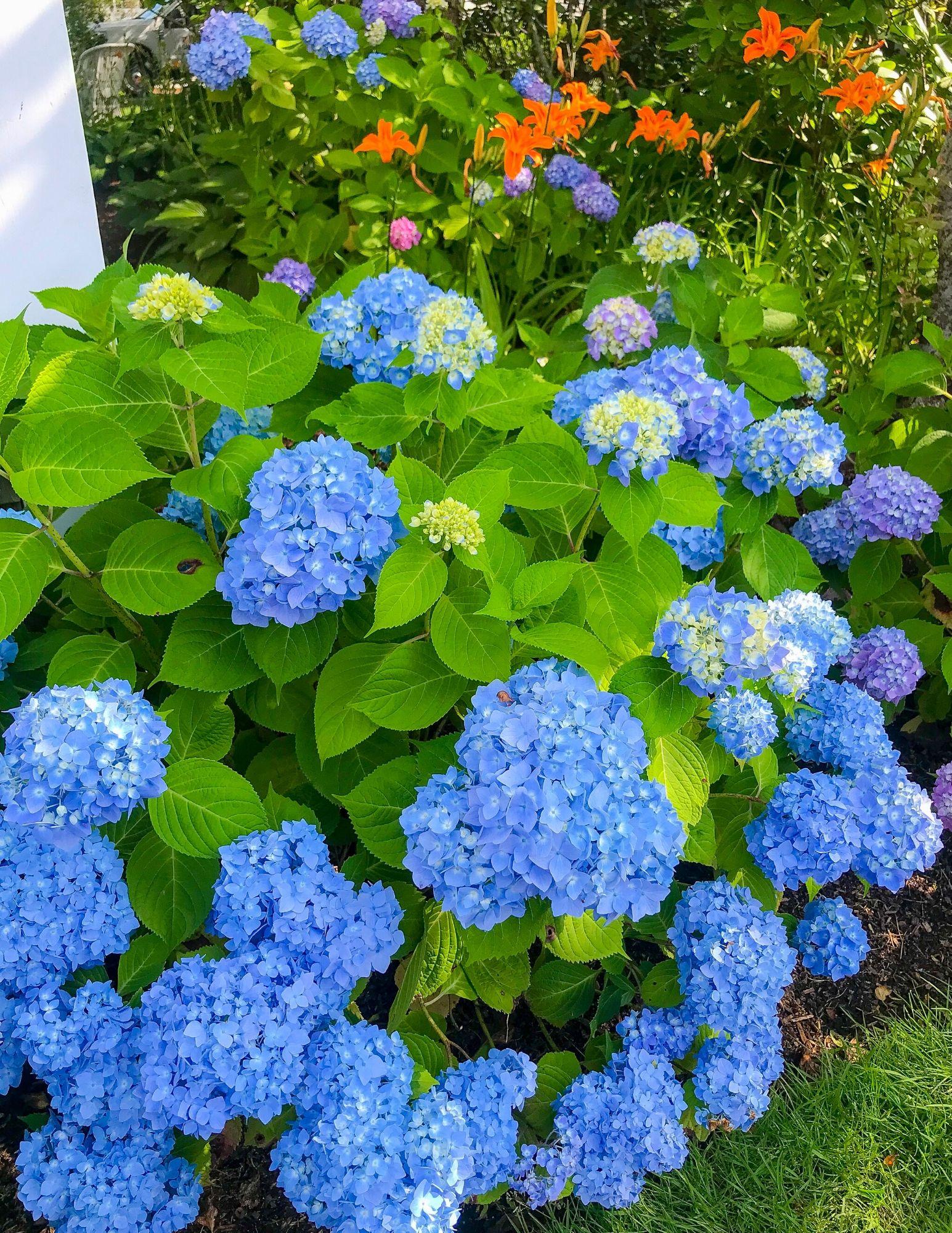 Blue Hydragraneas $15