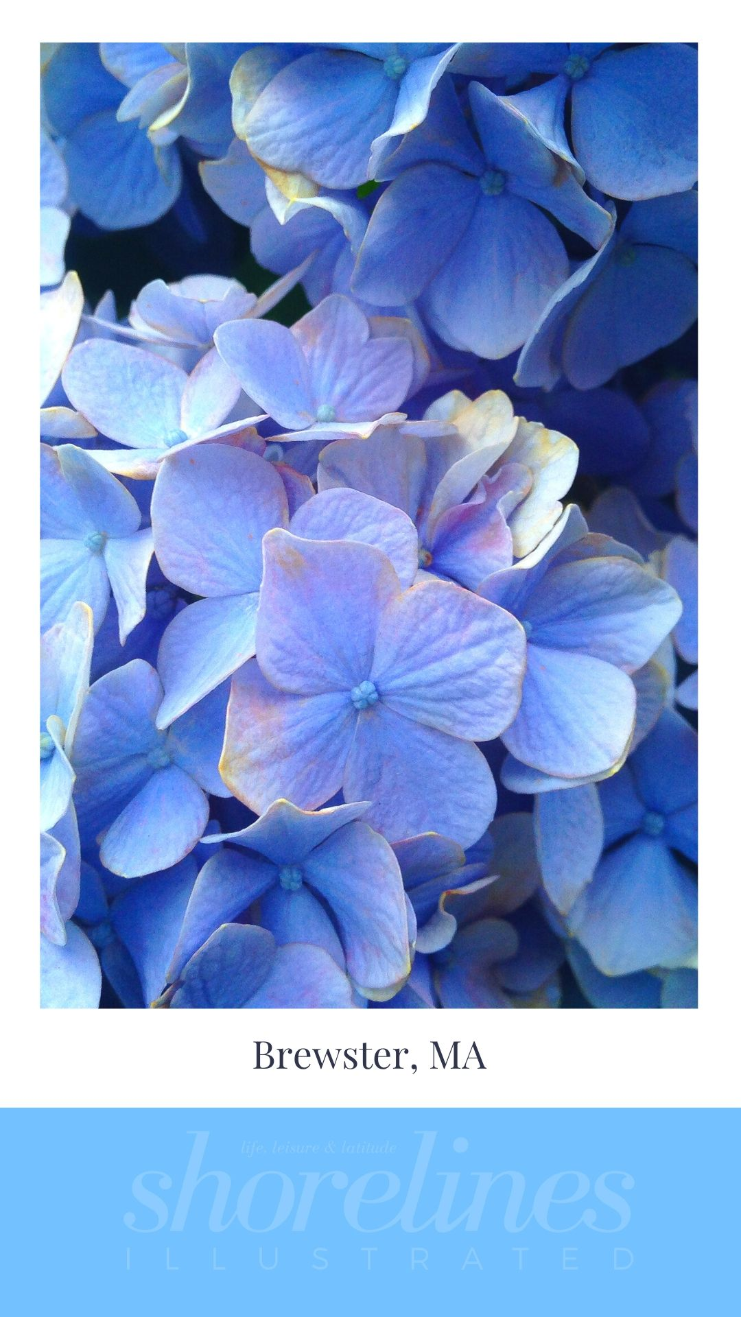 Blue Hydrangeas of New England-11