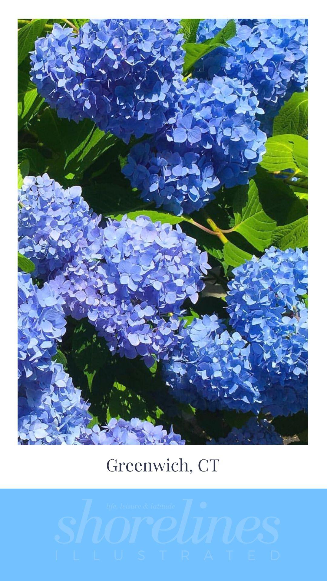 Blue Hydrangeas of New England-4