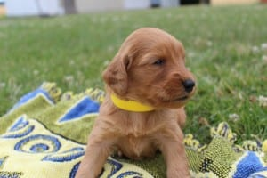 red goldendoodle