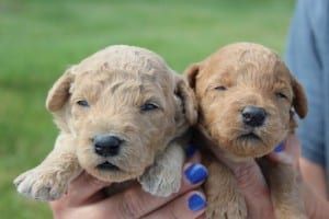 dark red goldendoodles
