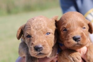 small goldendoodles