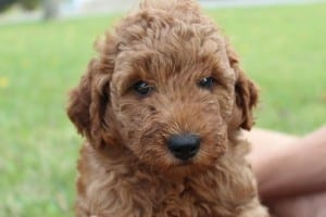 Dark red goldendoodle puppies for sale