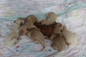 Aussiedoodle & Goldendoodle Puppies for Sale in Ohio