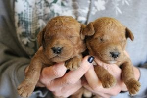 mini goldendoodles puppies