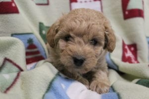 Miniature goldendoodles for sale