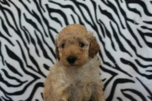 goldendoodles for sale in Columbus
