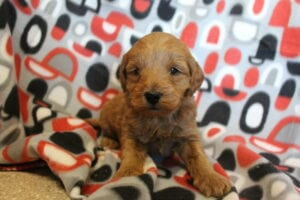 Goldendoodle puppies for sale in Ohio