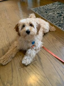 mini goldendoodle for sale in OH