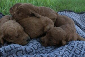 Goldendoodle puppies for sale in OH
