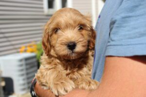 Goldendoodle in Columbus OH