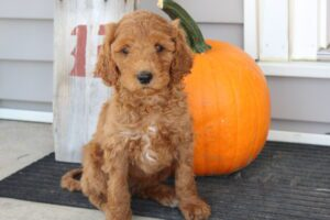 Goldendoodle in IN