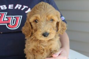 Goldendoodle puppies in OH