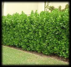 What type of hedges should you plant?