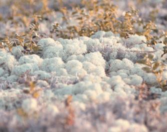 Reindeer Moss 1