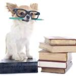 chihuahua and books