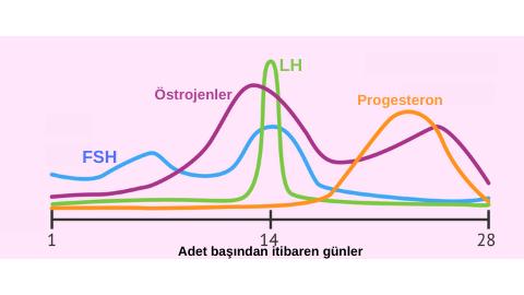 Adet döngüsü sırasında hormonlar