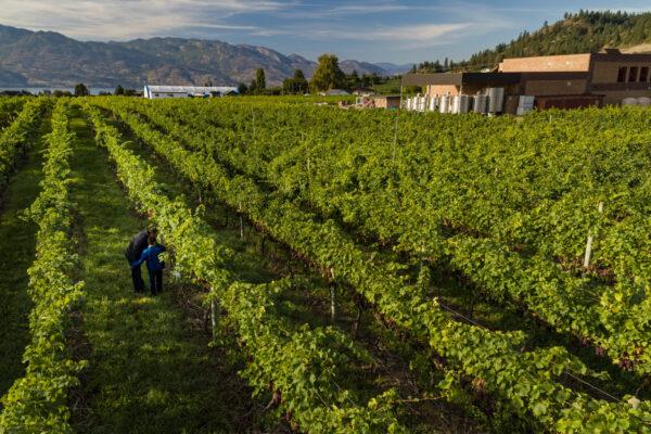 Volcanic Hills WineryAerial Summer Vineyards 3