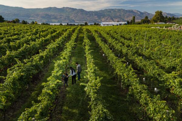 Volcanic Hills WineryAerial Summer Vineyards 5