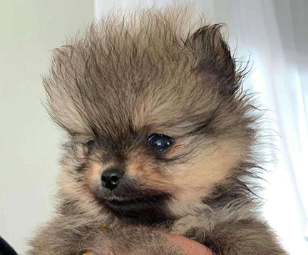 Sable Pomeranian Puppies for sale in Colorado