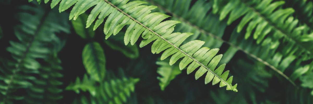 ferns growing in gcd backyard