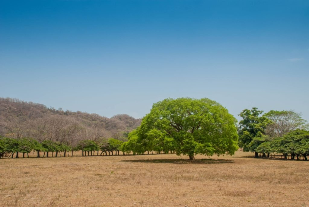 Guanacaste tree in the dry season