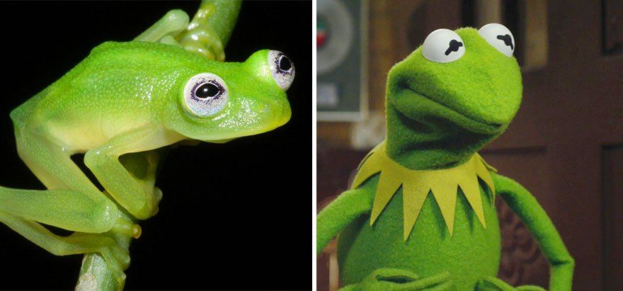Scientists Discover Real-Life Kermit The Frog In Costa Rica